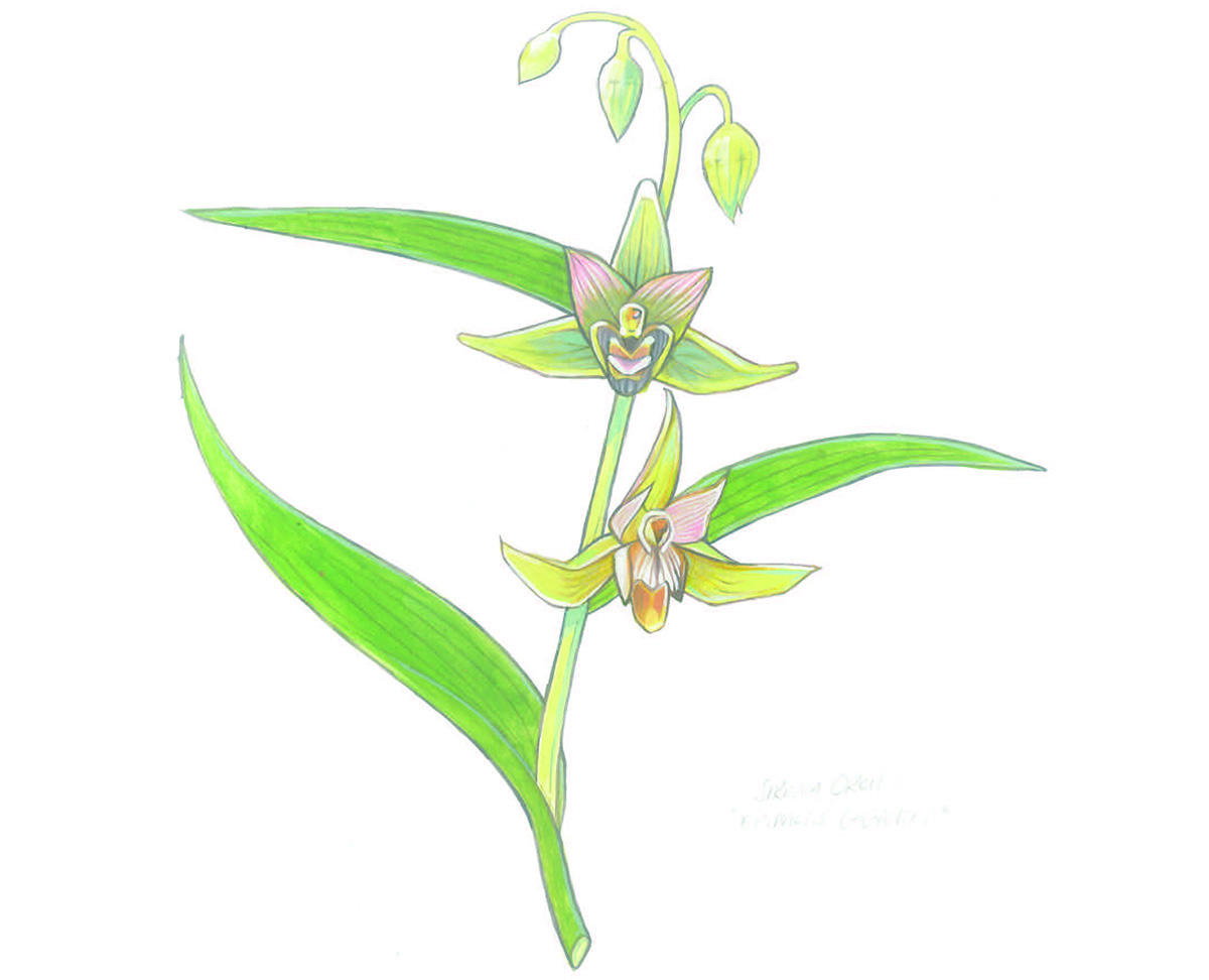 Illustration of a serpent orchid by Grey Arena.