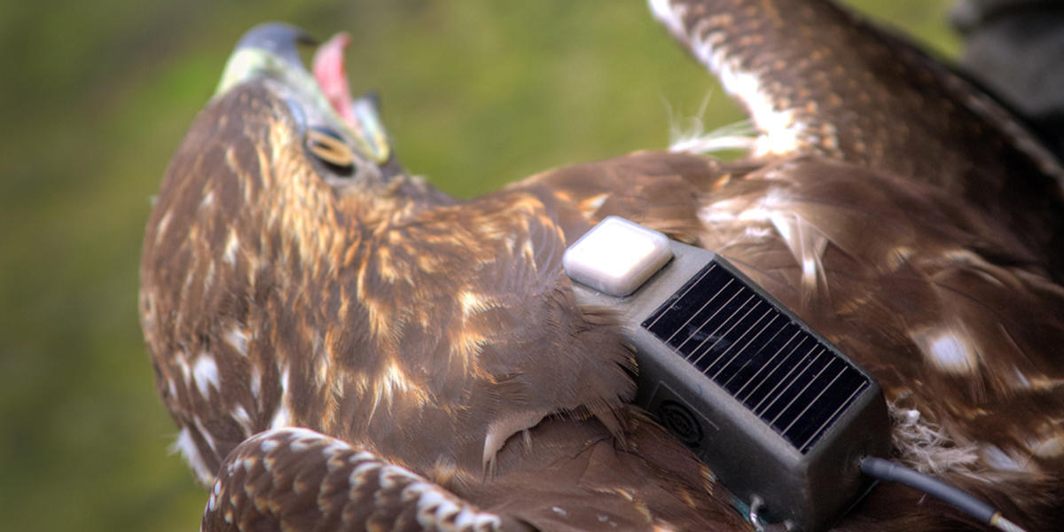 Red-tailed Hawk with GSM transmitter
