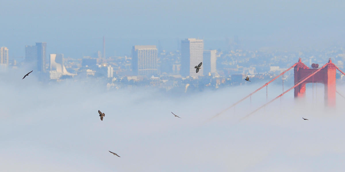 "A ""kettle"" of raptors rises over the Golden Gate Bridge"