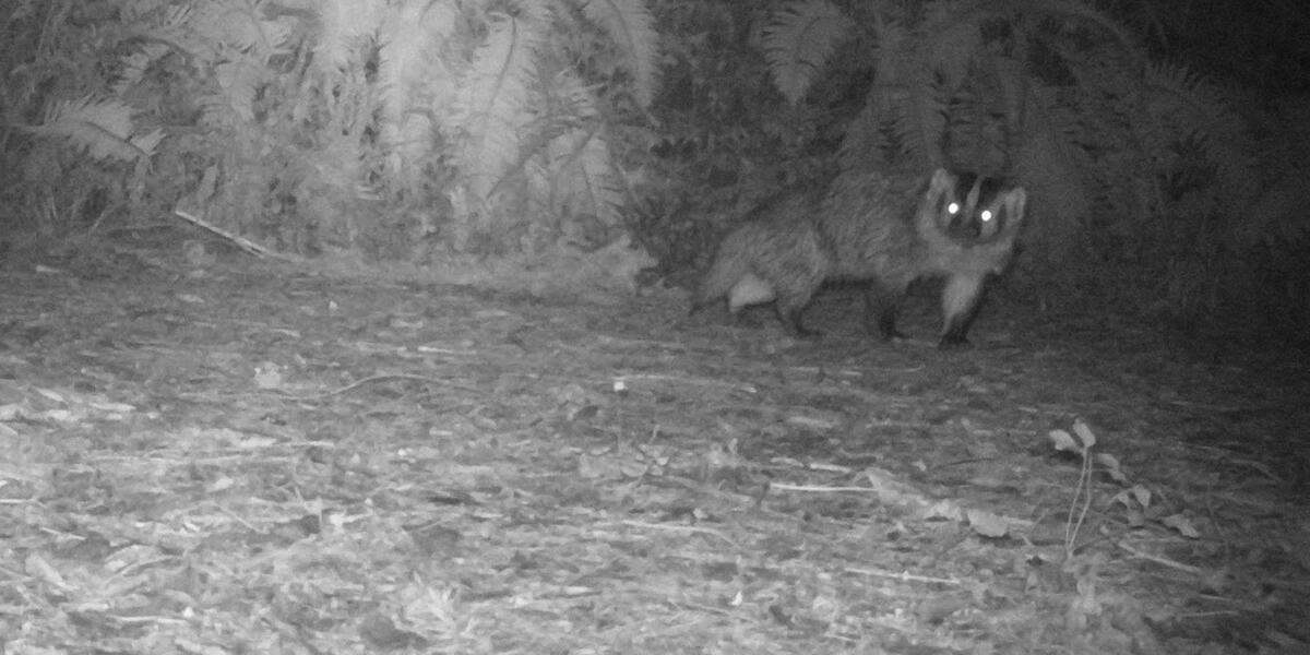 badger on mount tamalpais