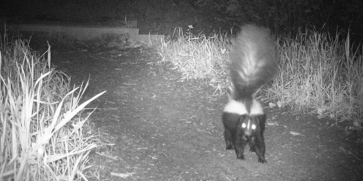 striped skunk on mount tamalpais
