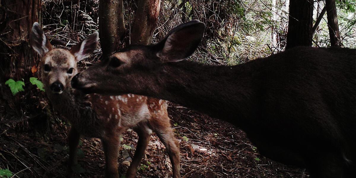 Doe and fawn on Mount Tamalpais