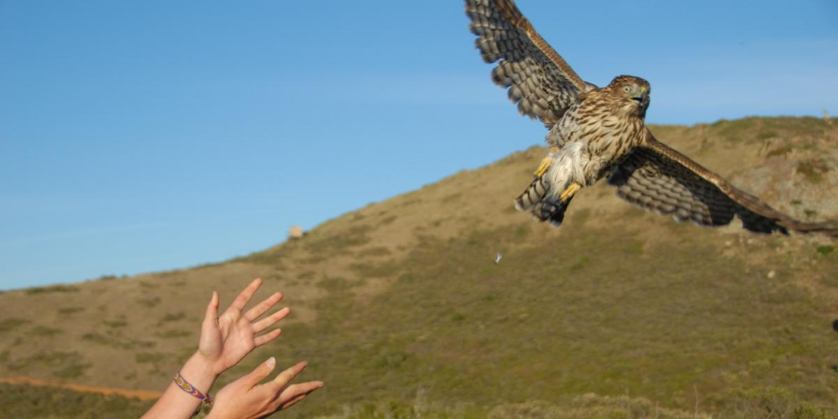 Hands release a hawk