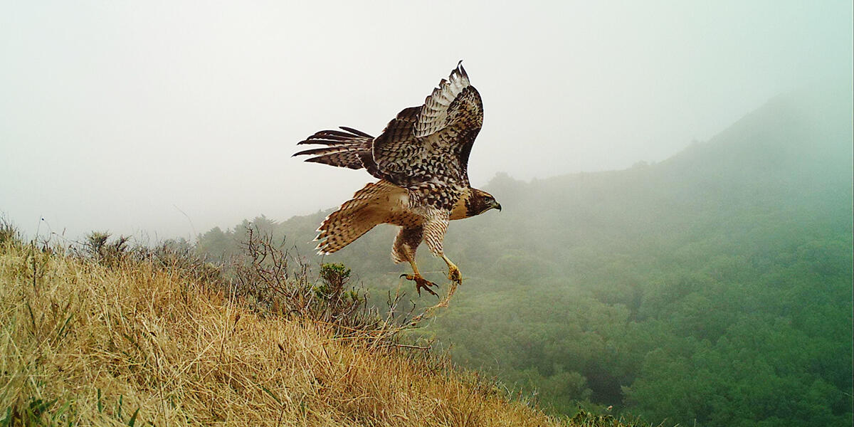 Raptor on Mount Tamalpais
