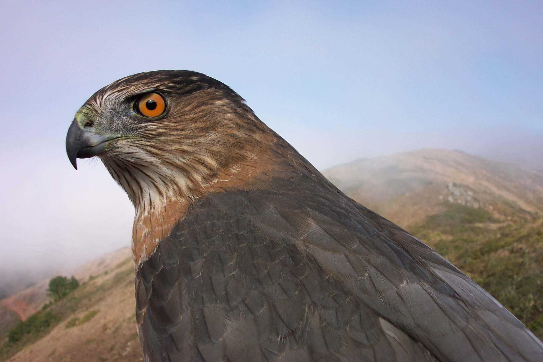 An adult Cooper's Hawk, one of GGRO's most frequently banded species, is photographed before release.