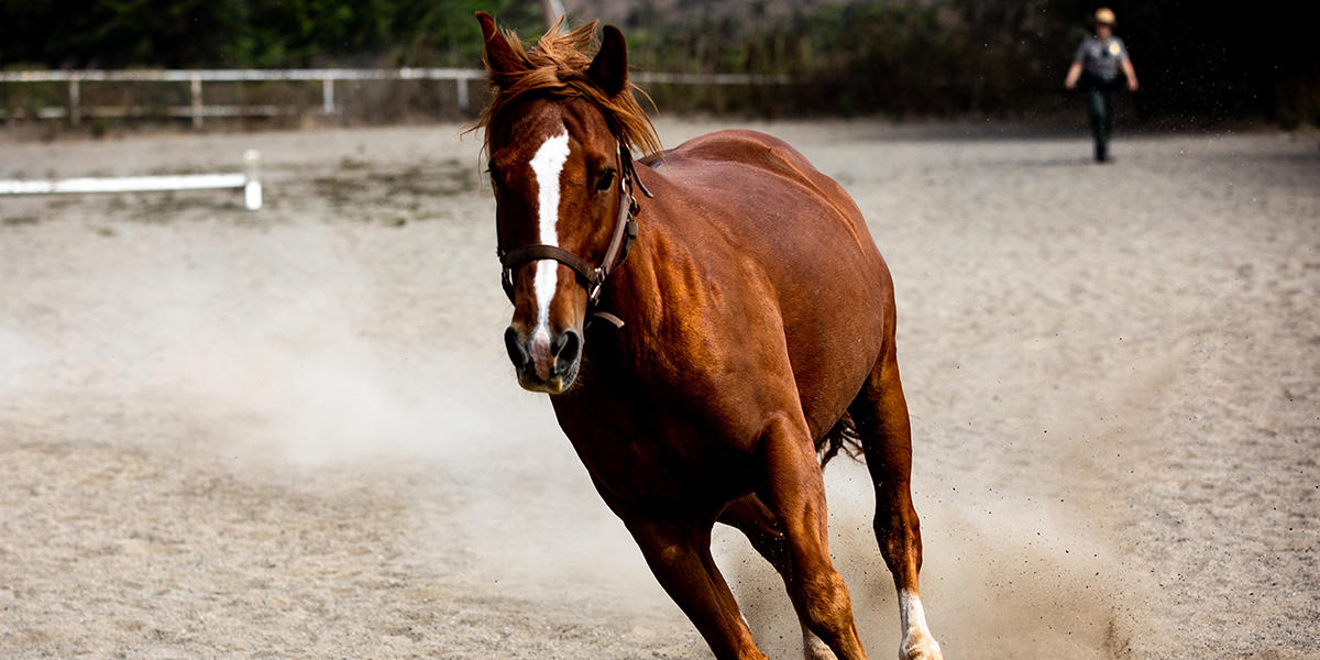 A horse gets its exercise in the stables with a cloud of dust underneath it.