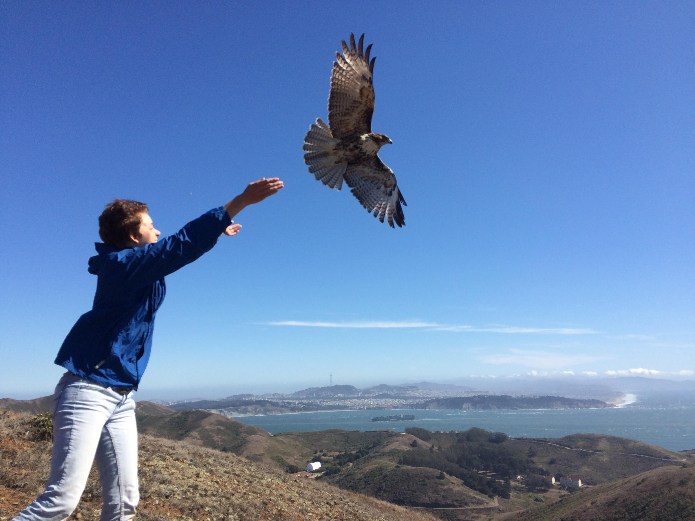 Red-tailed Hawk release