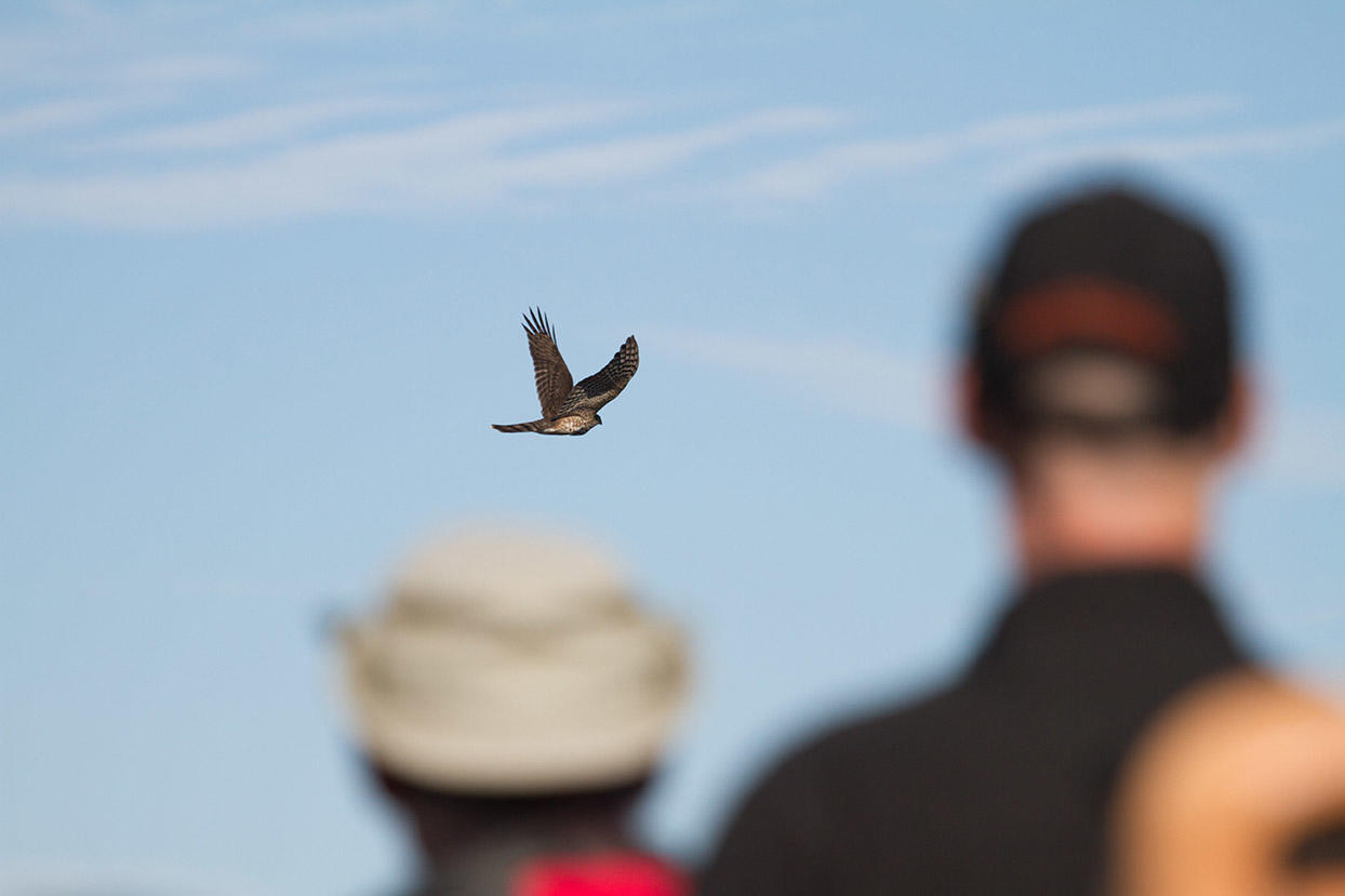 Hawkwatchers work to quickly identify an Accipiter as it flies past Hawk Hill.