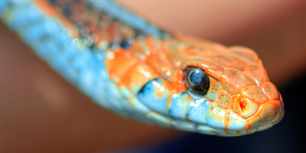 A close up of the San Francisco Garter Snake