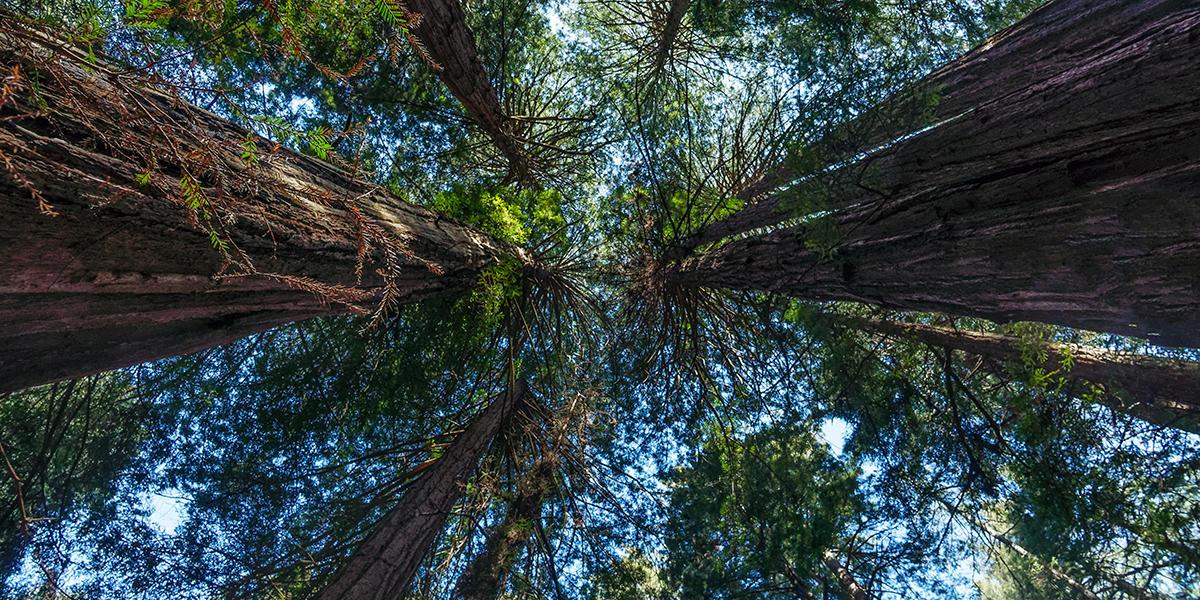 Muir Woods Historic Redwoods