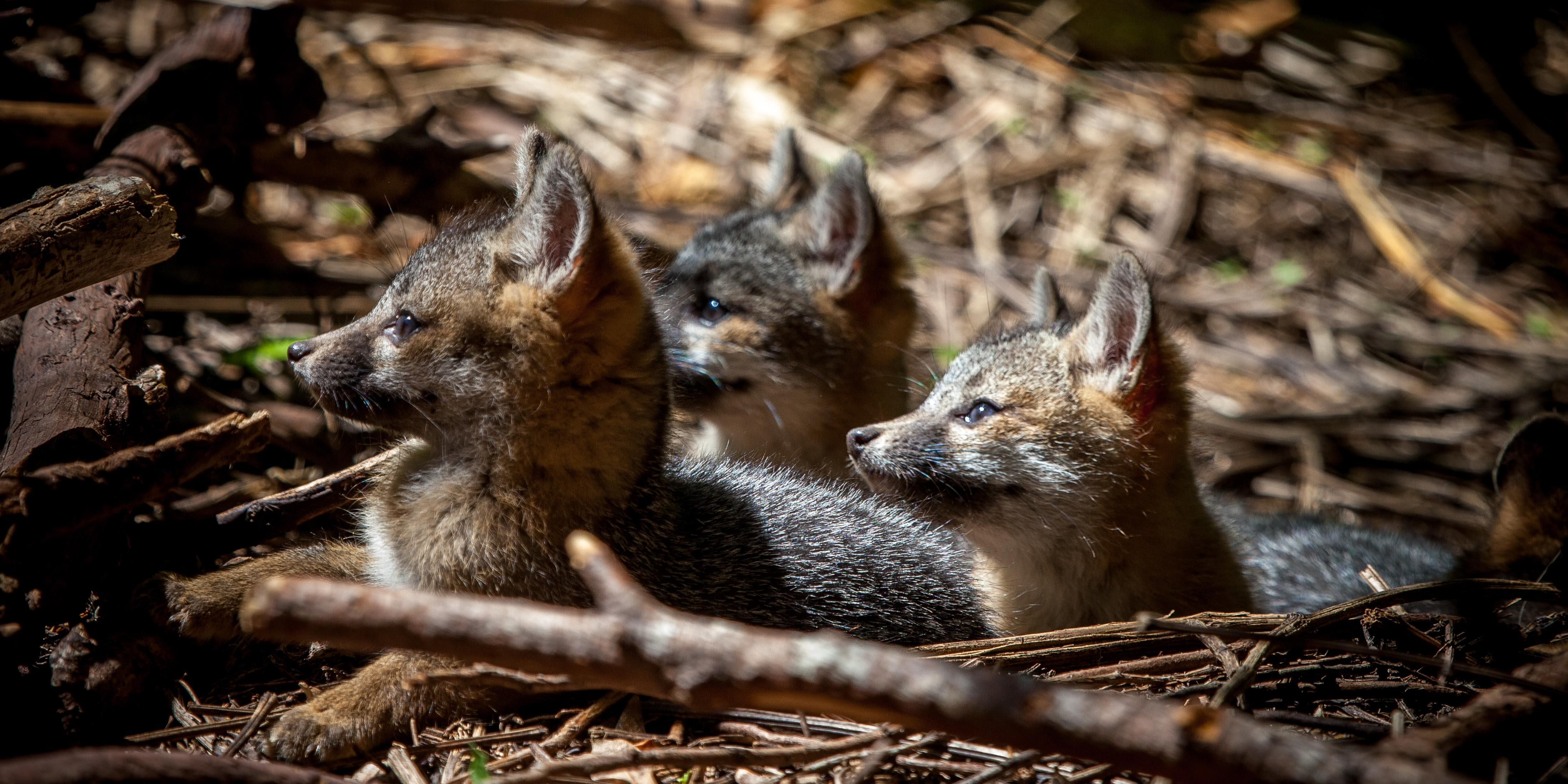 baby gray foxes