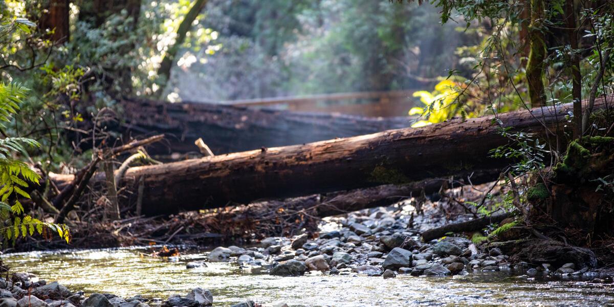 A creek runs along amongst rocks, flora, and underneath a fallen log at Muir Woods.