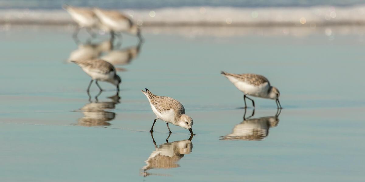 Snowy Plovers, an endangered species, graze along the sandy shore of Ocean Beach.