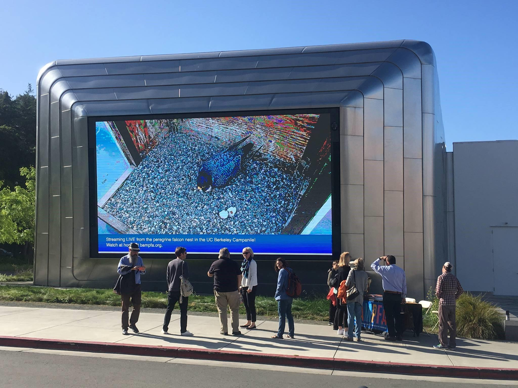 Onlookers watch a full screen livestream of Annie, Grinnell, and their newly hatched Peregrine Falcon chicks on BAMFA's (UC Berkeley Art Museum and Pacific Film Archive) outdoor video screen on April 25, 2019.