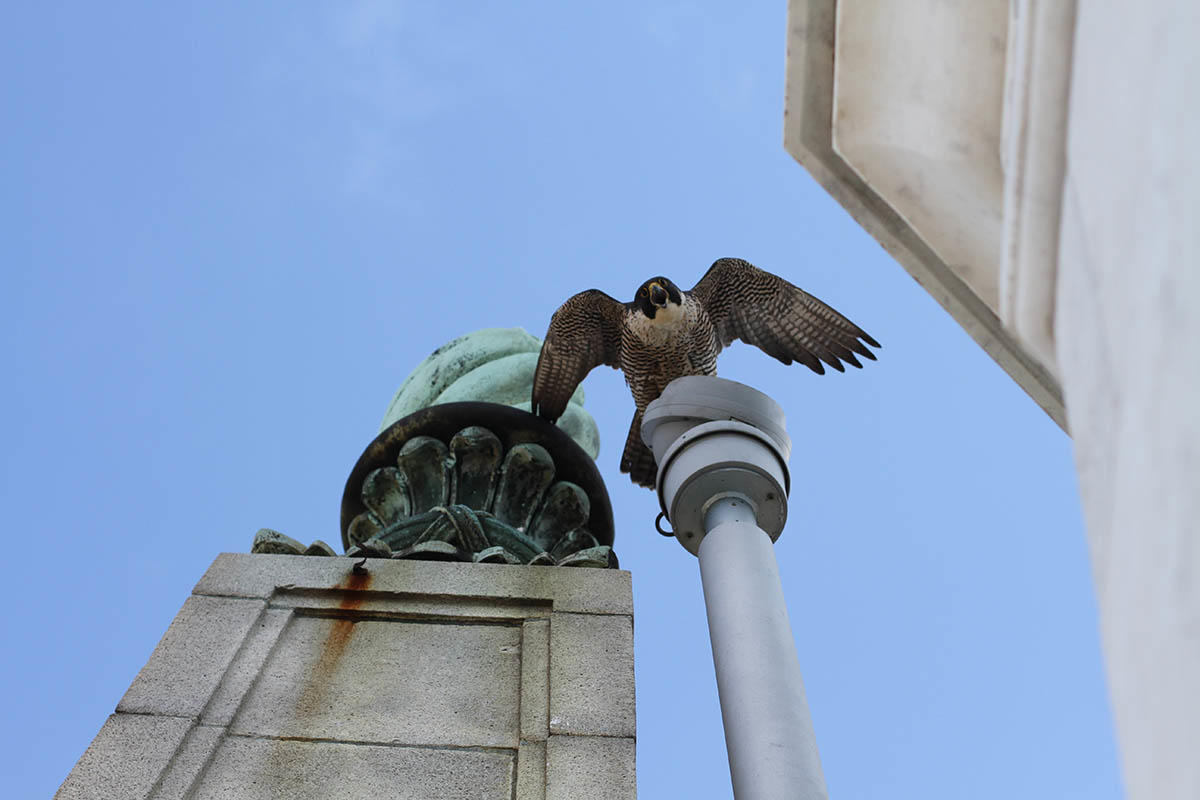 This is Annie and Grinnell's third year nesting on the Campanile Tower at UC Berkeley. The nest cameras featuring the Peregrine Falcons and their chicks have created buzz online.