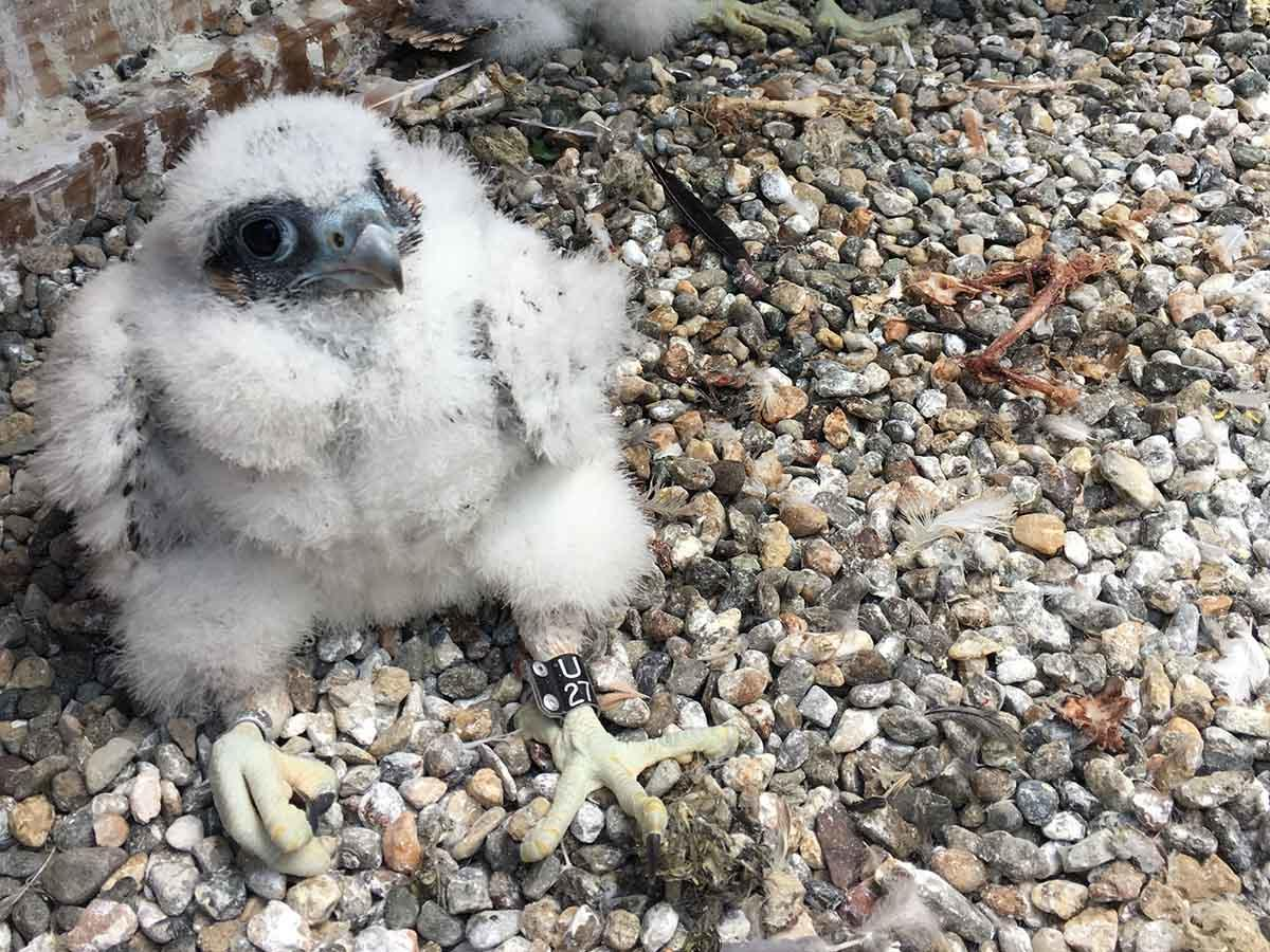 The 2018 chicks. Nest cameras on UC Berkeley's Campanile Tower featuring Peregrine Falcons Annie and Grinnell and their chicks have created buzz online.