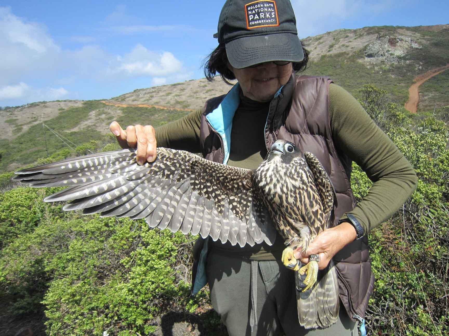 In August of 2018, GGRO volunteer banders recaptured Peregrine 11AM—one of the three chicks banded by Zeka at the Campanile earlier that year—healthy and hunting in the Marin Headlands.