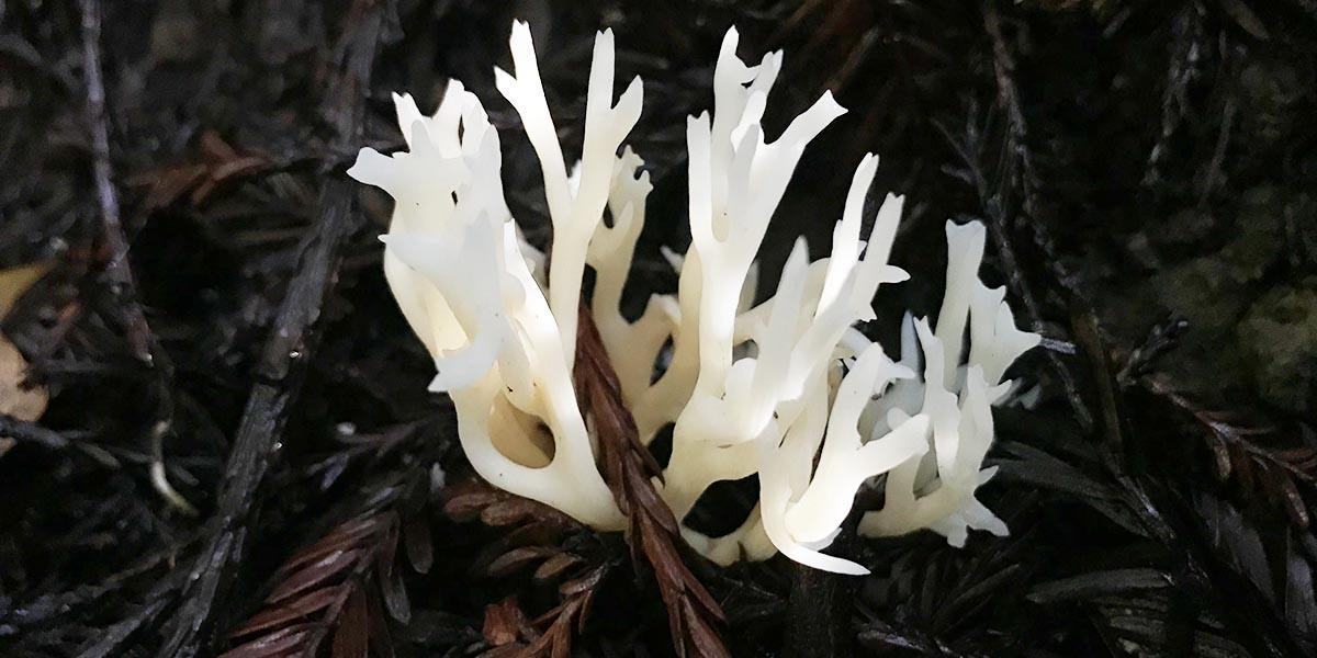 White coral fungus found in the Golden Gate National Parks.