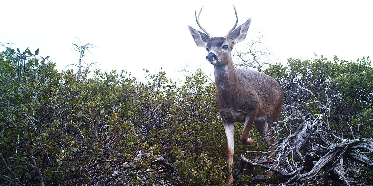 deer on Mount tamalpais