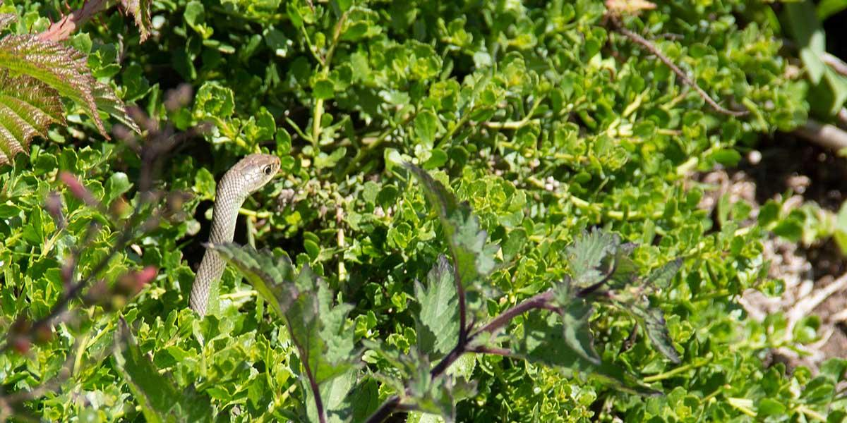 A San Francisco gartner snake spotted by volunteer Selin Ozguzer at Mori Point.