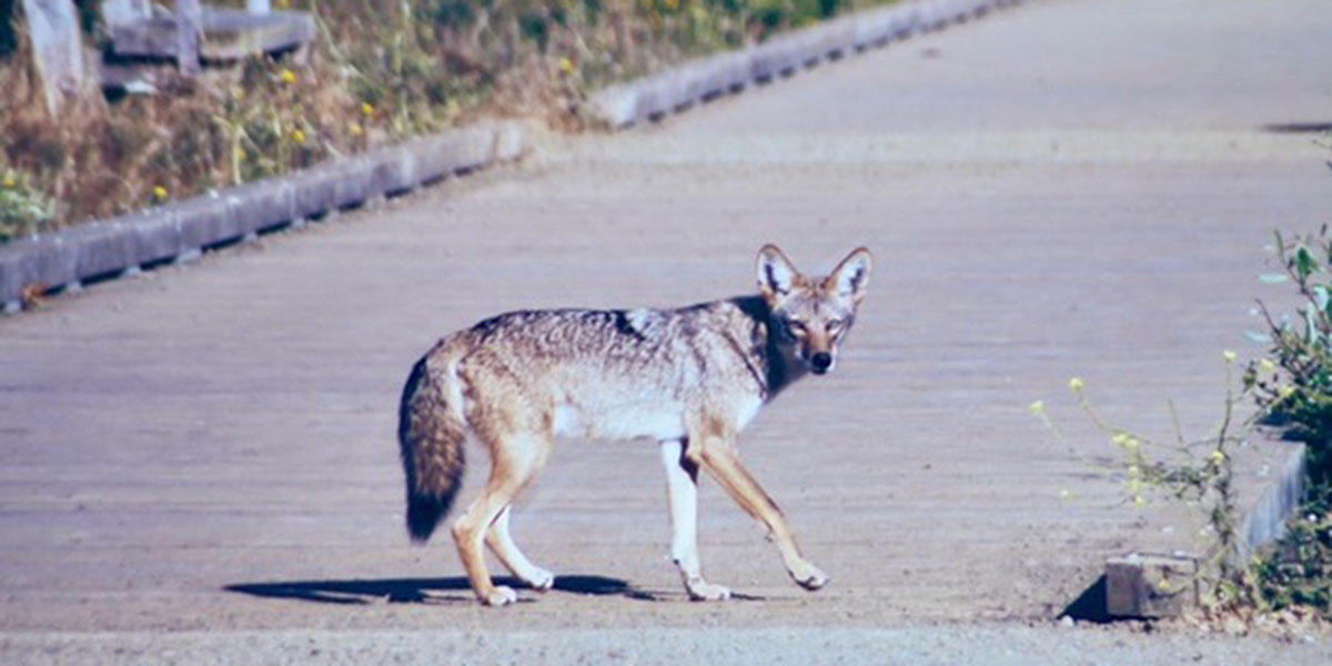 A coyote crosses the boardwalk, and poses for a photo, at Mori Point.