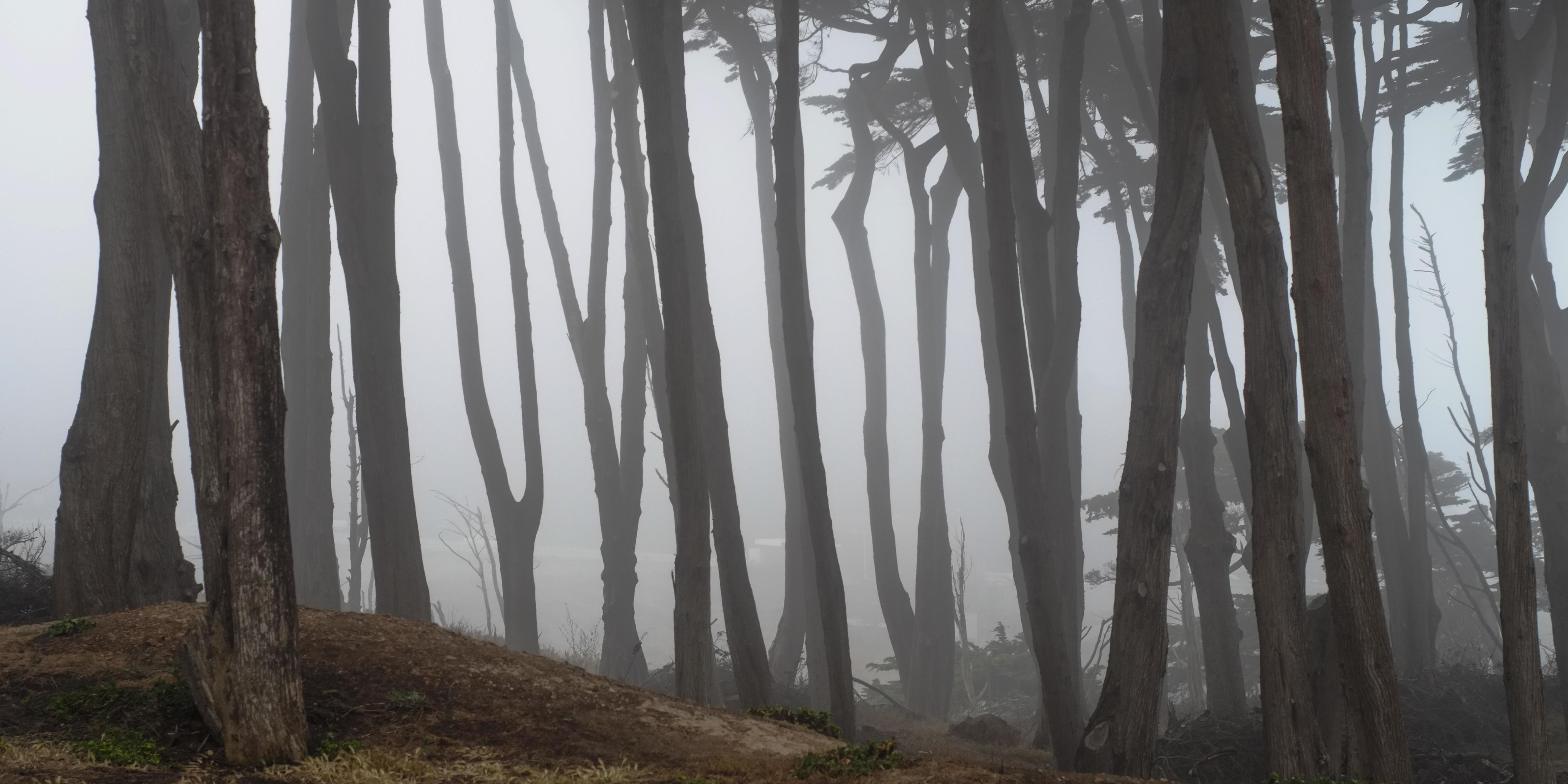 Cypress trees in fog at Lands End
