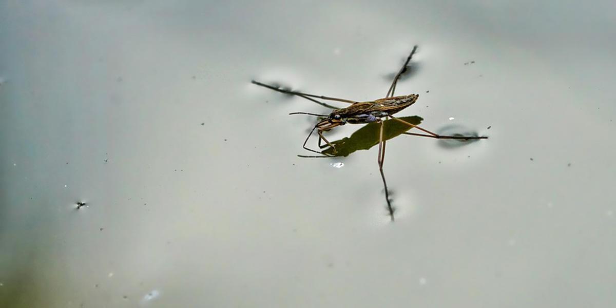 Water strider.