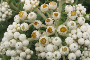 Anaphalis margaritacea (Pearly Everlasting)