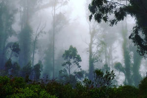 fog drifts through a coastal forest