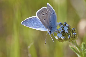 Small blue butterfly with two rows of white-rimmed black dots on the underside of its wings.