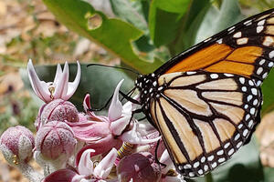 Orange, black and white monarch butterfly seen landing on purple milkweed flowers.
