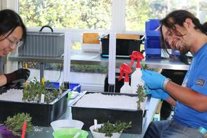 Volunteers work with manzanita cuttings