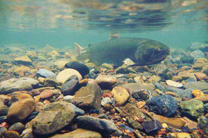Female coho salmon (Oncorhynchus kisutch) in Redwood Creek.