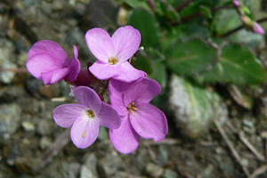 Arabis blepharophylla, the coast rock cress