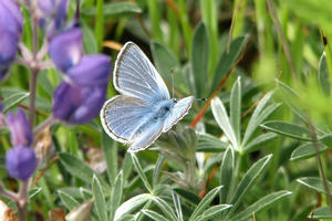 Mission blue butterfly (Icaricia icariodes missionensis)