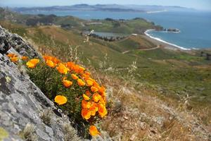 California poppies seen in the Marin Headlands.