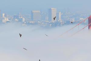 hawks flying over the Golden Gate Bridge in the fog
