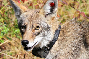 Portrait of coyote wearing a radio tracking color.