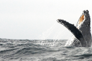 Migrating Whale Breaches Offshore of GGNRA