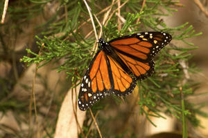 A monarch butterfly in nature.