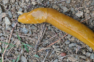 Banana slug spotted at Rancho Corral de Tierra.