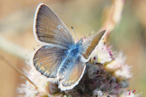 Small butterfly with open, bronze-colored wings, becoming blue towards her abdomen