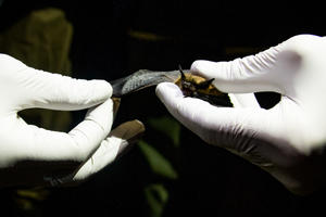 Researcher wearing white gloves holds a bat delicately in hands