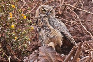 A great horned owl.