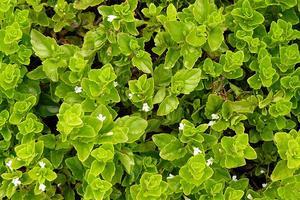 Yerba buena (Clinopodium douglasii) plants.