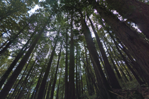 Screenshot of redwoods along the Lonely Trail in Phleger Estate.