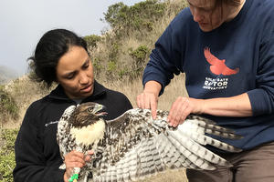 Intern Laura Echavez learning to hold a Red-tailed Hawk
