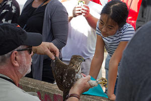 A juvenile Cooper's Hawk delights a young visitor