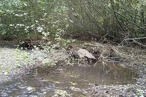 Fallen trees and branches become habitat for fish and frogs in Redwood Creek.