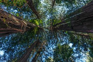 Muir Woods Historic Redwoods